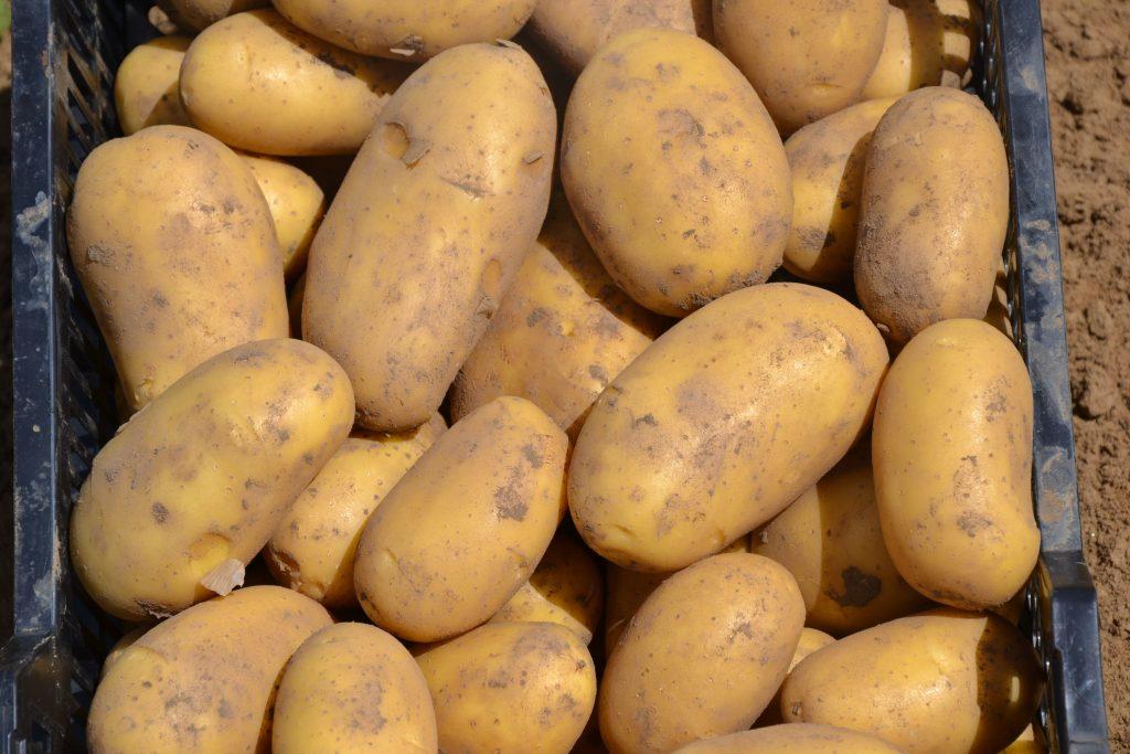 Prémium salátának prémium fajtát: MONIQUE