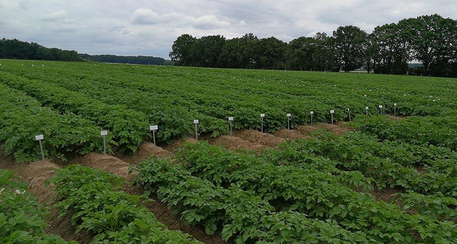 Burgonya kísérleti fajtasor. A szakoktatásban is korszerű burgonyafajtákkal kell dolgozni, ezt is biztosítja a Krumpliságok program.